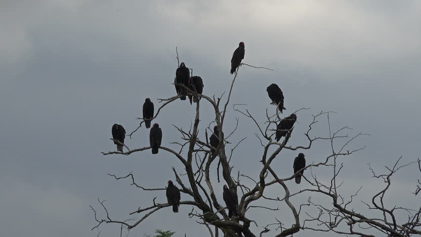 Black Buzzard birds in tree above dead animal. Turkey vulture dead tree after feeding on a dead animal. Sunny and warm early morning. Large black carrion eating birds. Carrion eating mystical scary. | Shutterstock HD Video #7000960