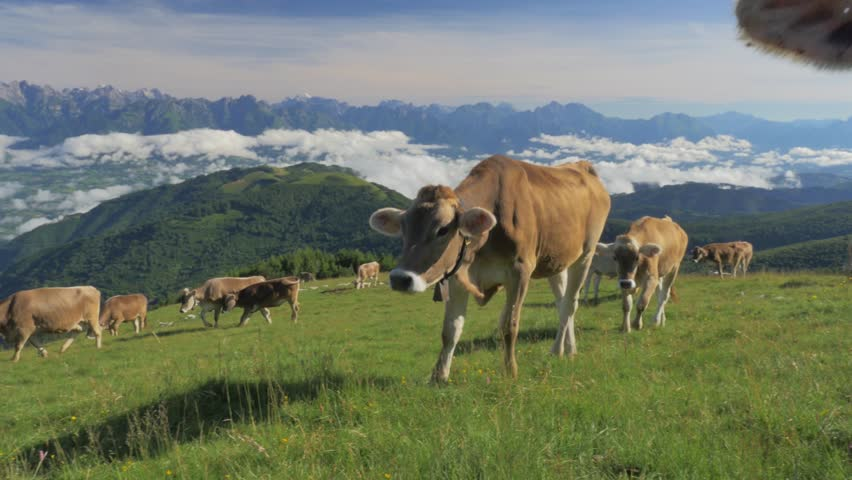 Cows on the Alps. Summer pasture. Alpeggio | Shutterstock HD Video #7003420