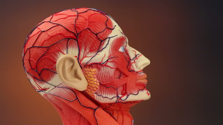 Human Anatomy The Muscles Blood Vessels Bones And Brain In The