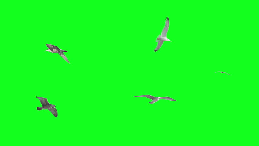 Stabilized flying birds on green screen. Ready to be animated as you wish.  #7034440