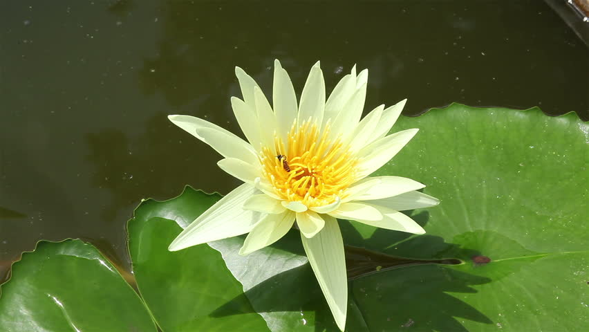 Lotus Flower Yellow Color In Stock Footage Video 100 Royalty