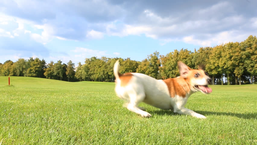 Pretty funny dog .Jack Russell Terrier jumping dancing with impatience on the grass, running and brings a toy blue disc frisbee. Sunny day for walking | Shutterstock HD Video #7213669