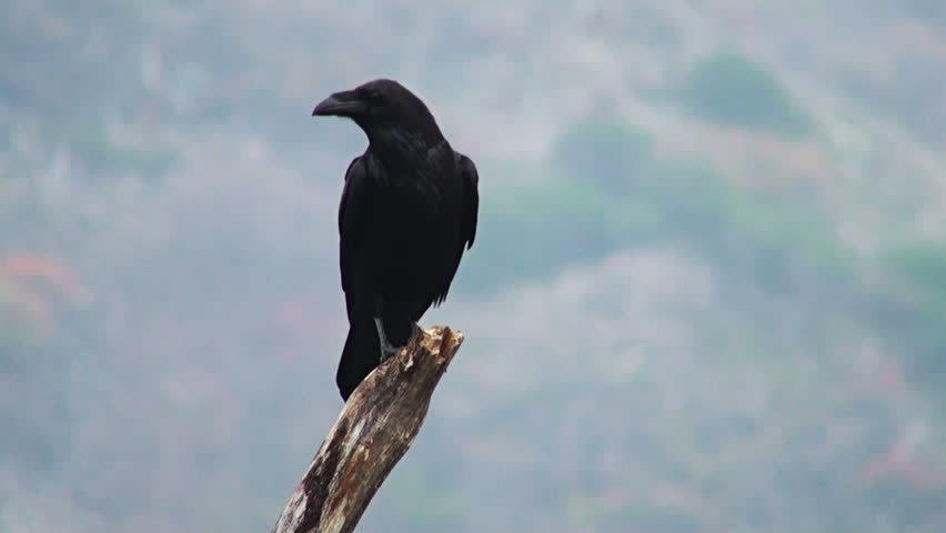 Balkan storyline. Largest songbird Europe - Raven (Corvus corax) in action. Sound Recording included.