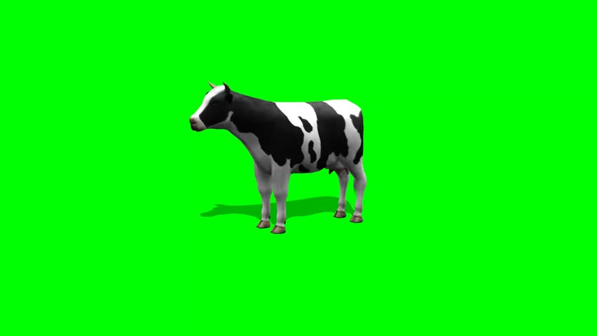 cow stands and chews - 2 different views - green screen