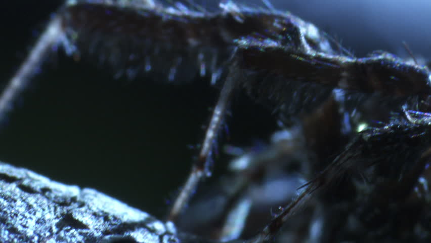 Close up of a Portia Spider on a branch at night