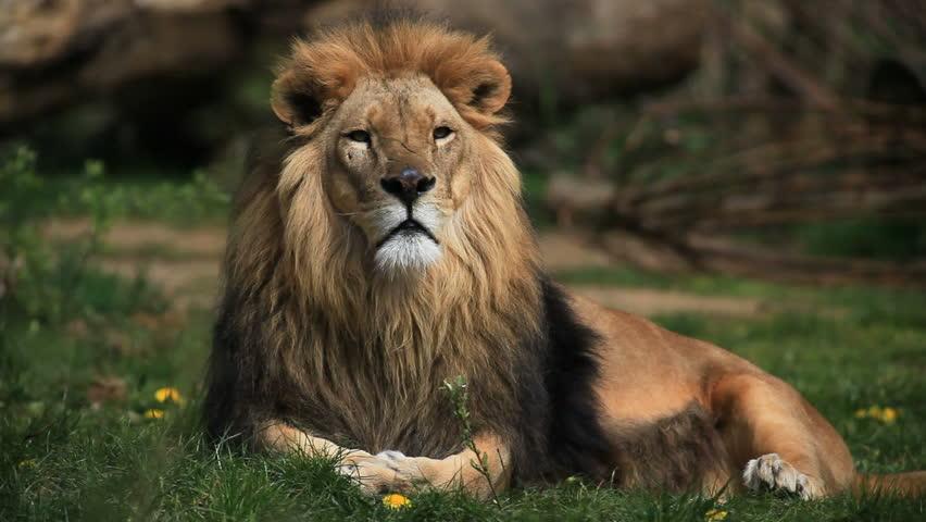 Header of lion