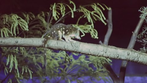 a tiger quoll on a tree branch at night
