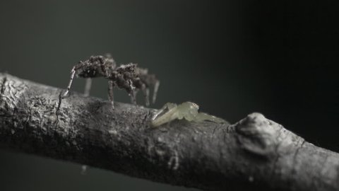 Green Jumping Spider fighting off an attacking Portia Spider in slow motion