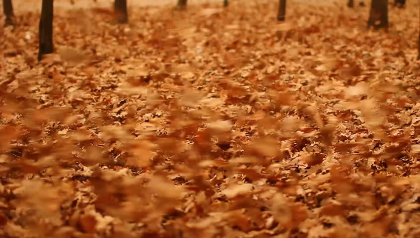 The dry leaves blown with the extreme strong storm wind in the autumn forest. Original shot. Filmed with Red Cinema Camera and prime telephoto lens