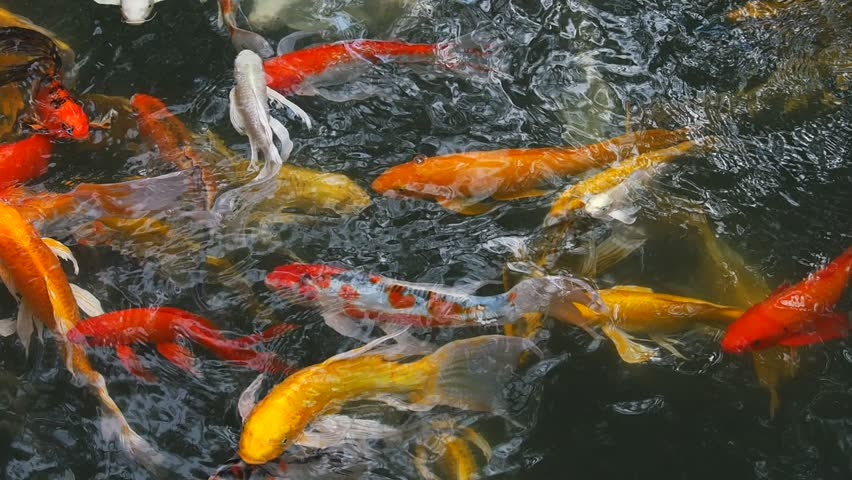 Koi fish or nishikigoi is literally is brocaded carp are for Golden ornamental pond fish crossword