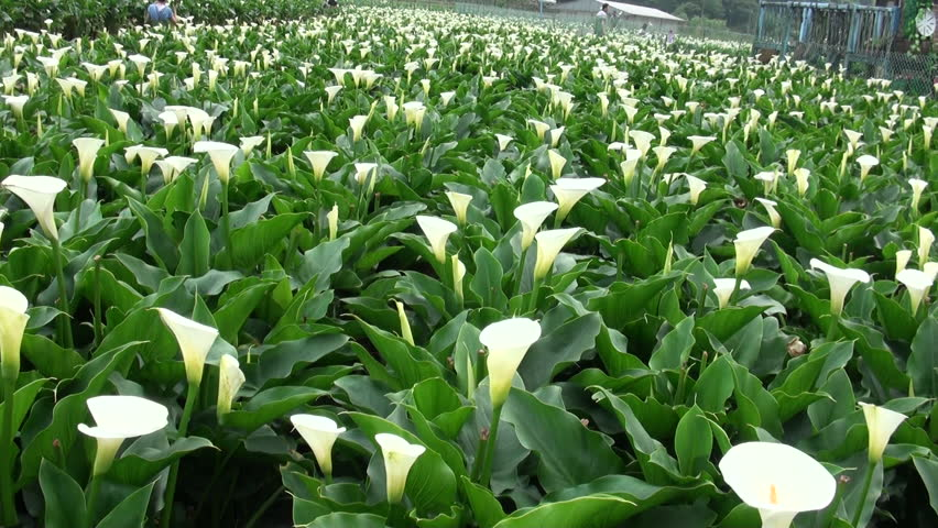 Stock Video Clip Of Garden Calla Lily In Qixing Mountain Shutterstock