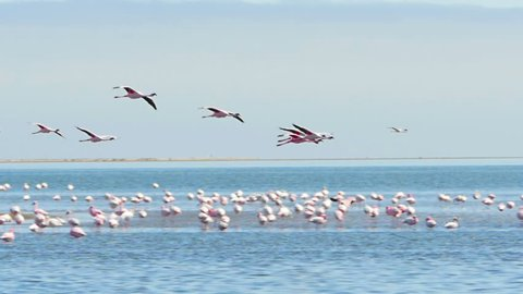 flamingos flying over the sea and landing on the water slow motion tracking shot walvis bay namibia