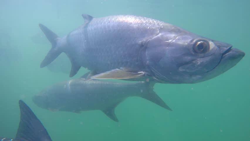 Under water video of Tarpon feeding and swimming 4k   Shutterstock HD Video #7715530