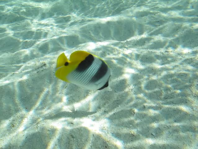 Butterflyfish (Chaetodontidae) in the lagoon of Huahine, French Polynesia