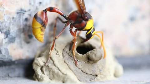 Wasp building nest.