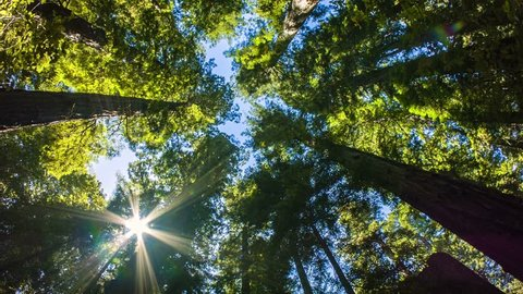 Northern California Redwoods - A wide angle motion control real time shot looking up at giant California red wood trees.