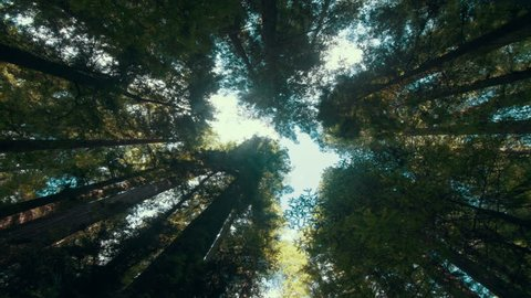 Time lapse clouds travel over giant red wood trees in a Humboldt forest.