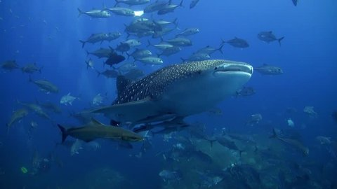 Whaleshark with lots of trevallies, cobias and remoras