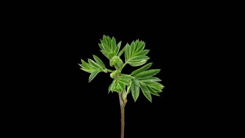 Time-lapse of growing aronia (Sorbaronia mitschurinii, chokeberry) branch 1x1 in spring, in PNG+ format with alpha transparency channel isolated on black background