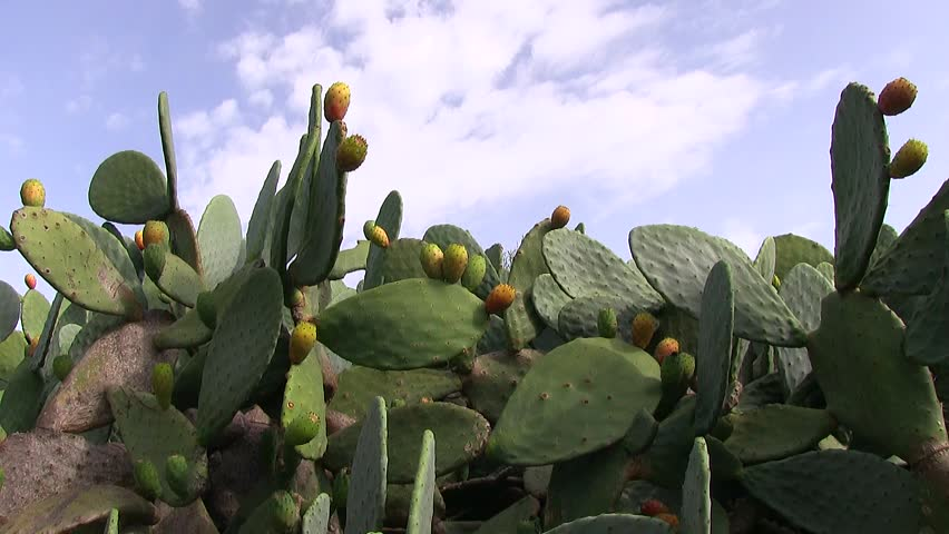 Prickly pears and cactus