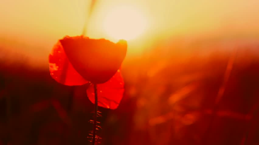 Fire flower. A beautiful red flower on a background of fiery sunset.