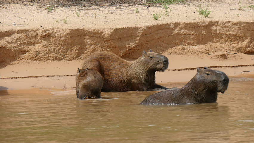 Capybara yawning in the Pantanal wetlands, Brazil, slowmo.