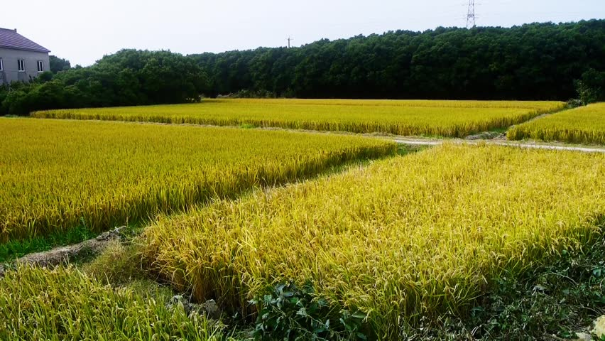 an overview of rice