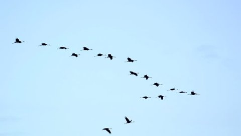 Group of migrating Common Cranes or Eurasian Cranes (Grus Grus) birds flying high up in the air during an autumn sunset.