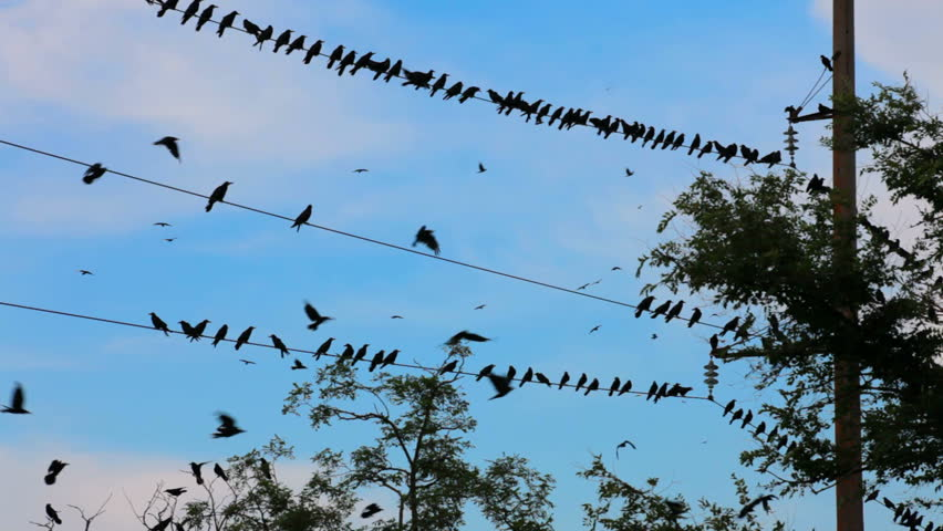 A flock of black birds. A large flock of black crows flying in the sky over the park and the line of electricity transmission. Two frame. | Shutterstock HD Video #816070