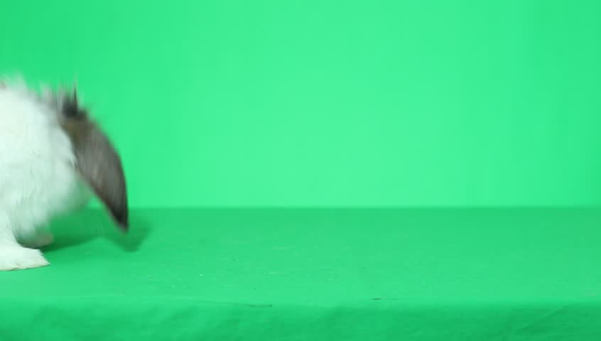 Bunny on green screen | Shutterstock HD Video #8193880