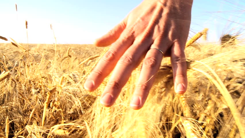 Hand brushing over the heads of ripening wheat in a field  60FPS