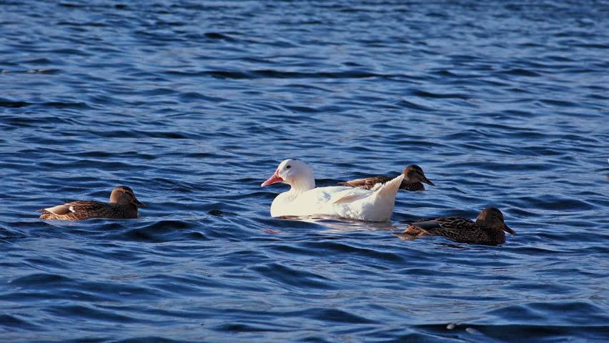 White Big Duck Swimming in a River. 4K Ultra HD 3840x2160 Video Clip | Shutterstock HD Video #8318278