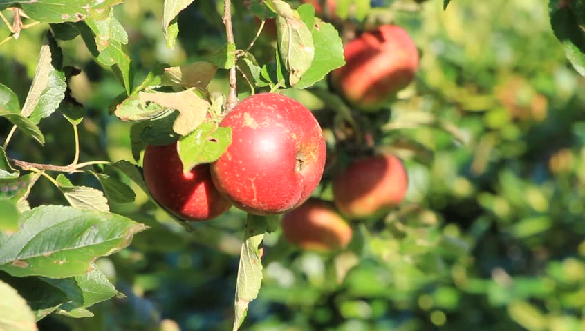 Picking red apples #8339500