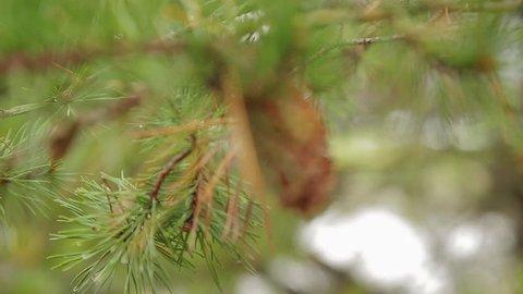 Virginia Pine Cone
