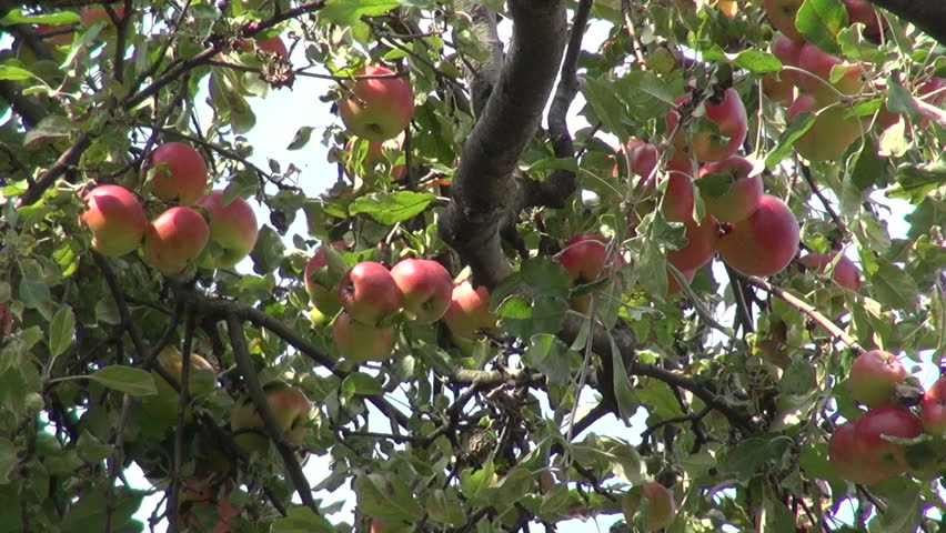 Apple tree, organic Jonathan apples, fruits, raw, orchard, farm, horticulture