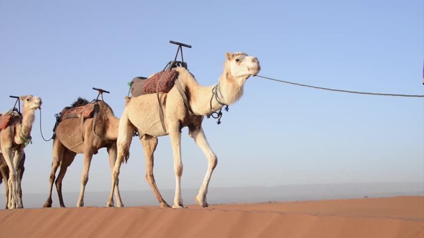 A Caravan of Camels Walking Stock Footage Video (100% Royalty-free ...