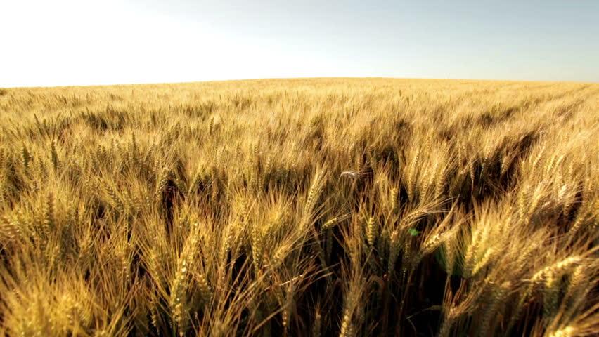 crane shot over ripe wheatfield in afternoon sun