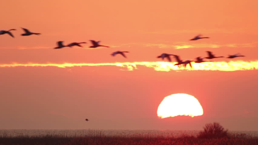 Flying flock of swans at sunrise red sky. Mute Swans and Whooper Swan flying over a lake in the morning at amazing sunrise, large zoom shot at sun.