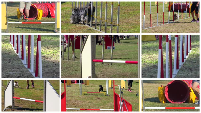 dog agility race montage  #8445790