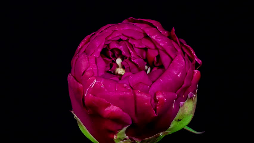 Timelapse of purple peony flower blooming on black background, closeup view of petals