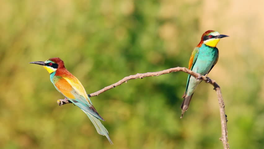 Gorgeous European Bee-eaters on the branch in nature, wildlife | Shutterstock HD Video #8501350