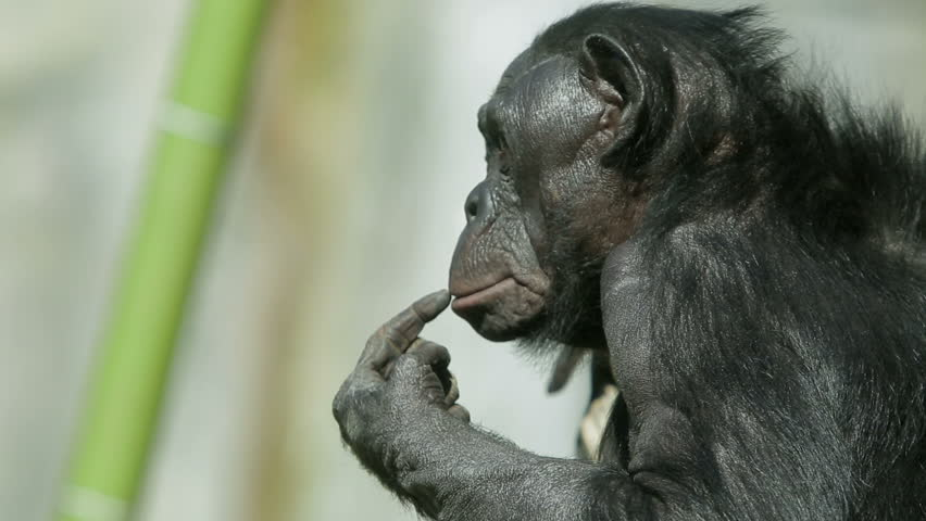 A bonobo chimp sits alone by a waterfall, scratching her lip.