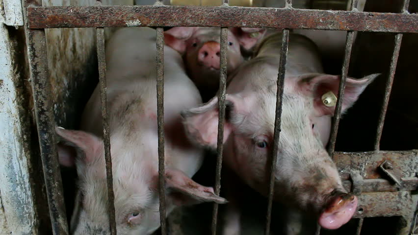 an argument against eating pigs in the united states The role of bay of pigs invasion in the history of the united states of america united states history because world opinion was against the us.