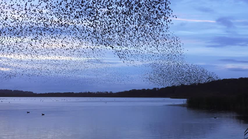 murmuration flock of starlings on lake sundown nature background - Aqualate Mere, Staffordshire, England: November 2014