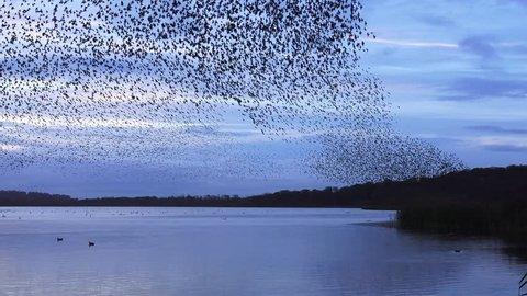 murmuration flock of starlings on lake sundown nature background - Aqualate Mere, Staffordshire, England: November 2014