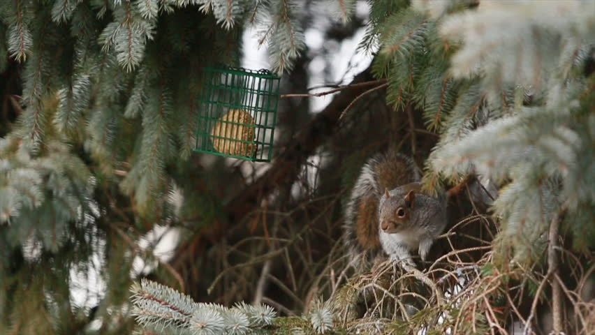 Header of American Red Squirrel