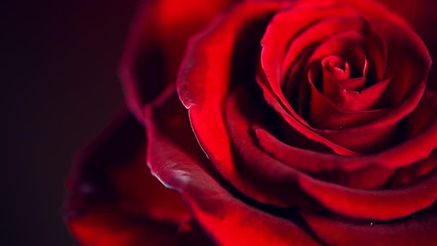 red rose flower close up の動画素材 完全ロイヤリティフリー