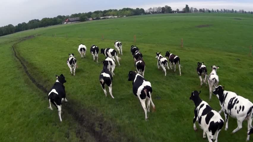 Cow herding from air with drone flying behind group of black white Holstein milk producing cows on green flat field and grey cloudy sky bird view UAV drone herding from above following running cattle | Shutterstock HD Video #8678572
