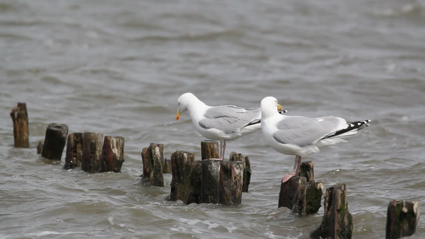 herring gulls sitting on wooden logs