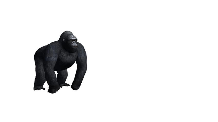 Chimp Chimpanzee Attack,endangered Wild Animal anthropomorphism  Stock  Footage Video (100% Royalty-free) 8747020   Shutterstock
